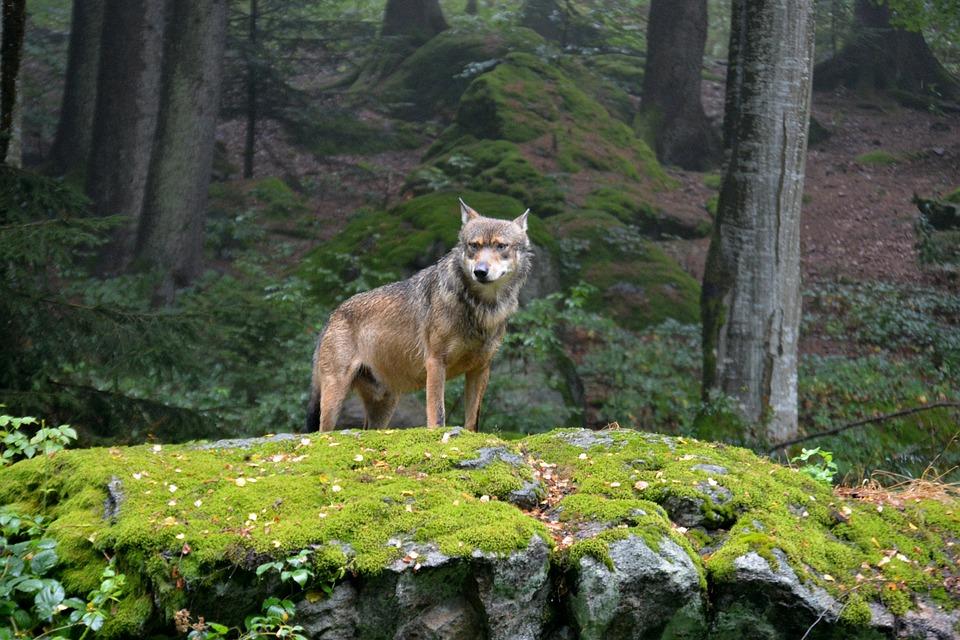 wolf-948285_960_720