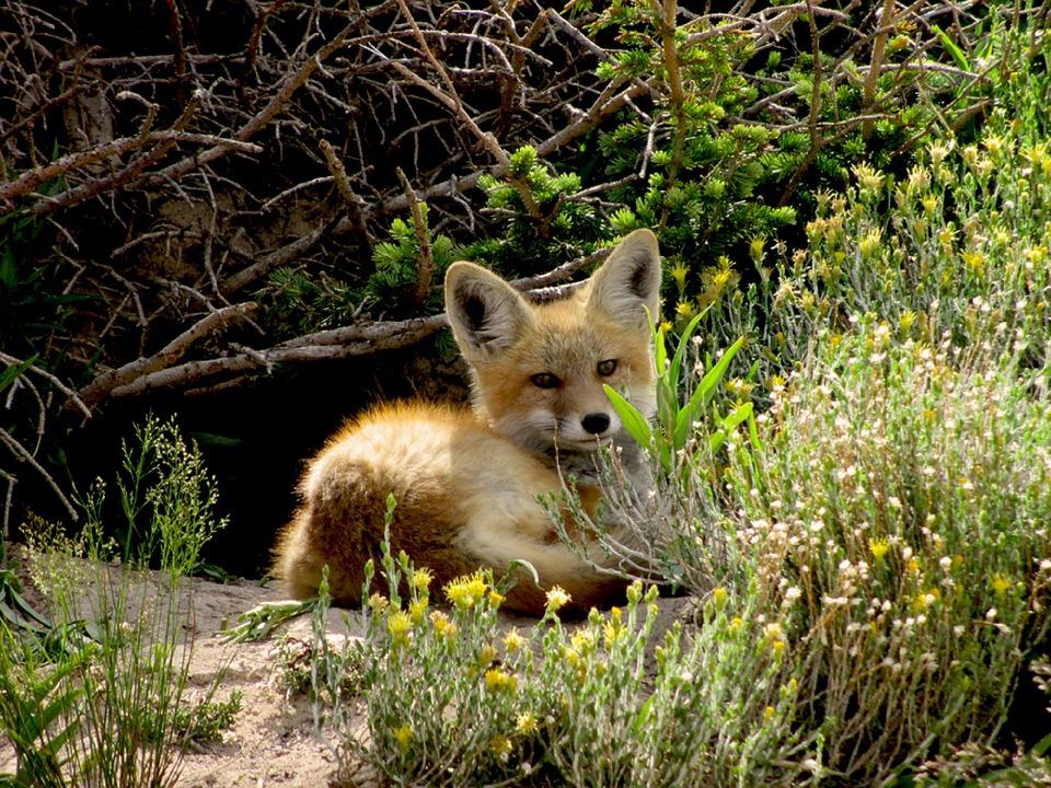 red-fox-2069440_960_720